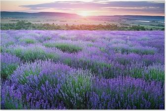 Meadow of lavender. Poster