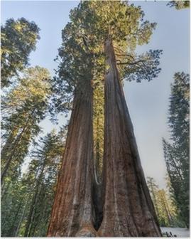 Merged Giant Sequoia Trees Poster