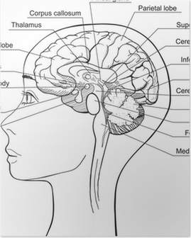 Midsagittal Section of the Human Brain, vector Poster