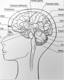 Poster Midsagittale Sectie van het menselijk brein, vector