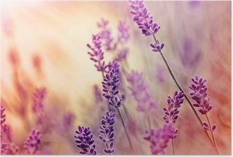 Poster Mjukt fokus på vackra lavendel och solstrålar - solstrålar