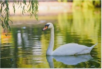 Poster Mooie jonge zwanen in het meer