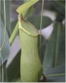 Poster Nepenthes gracilis (Plante carnivoor)