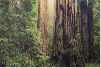 Old Redwood Trees Poster