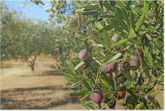 Olive grove in Greece Poster