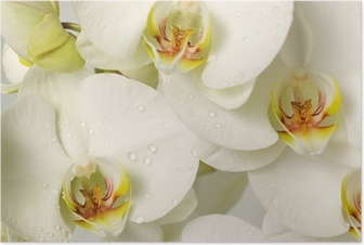 Poster Orchidees blanches