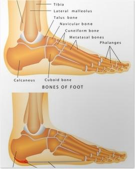 Poster Os du pied et de la cheville