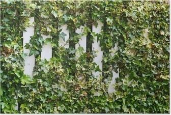 Parthenocissus tendril climbing decorative plant Poster