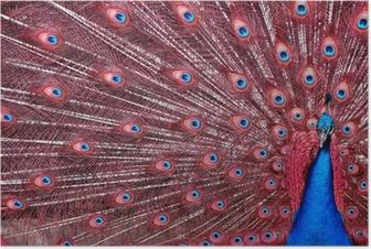 Poster Pauw met rode veren