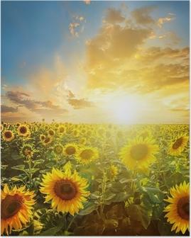 Poster Paysage d'été: la beauté coucher de soleil sur champ de tournesols