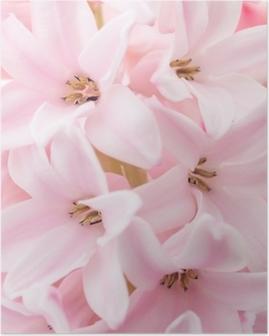 Pink hyacinth Poster