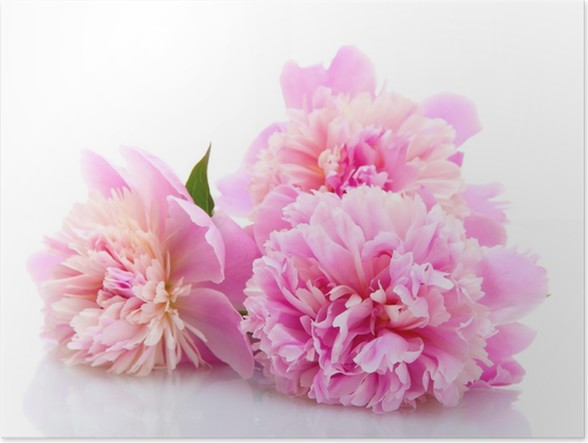 Pink peonies flowers isolated on white poster pixers we live to pink peonies flowers isolated on white poster mightylinksfo