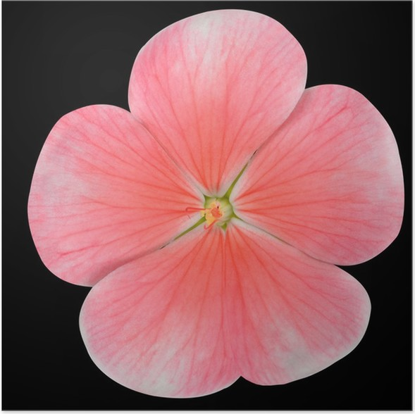 Pink periwinkle flower isolated on black poster pixers we live pink periwinkle flower isolated on black poster mightylinksfo