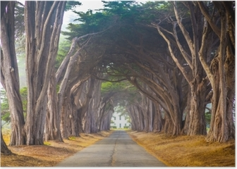 Point Reyes Cyress Tree Tunnel Poster