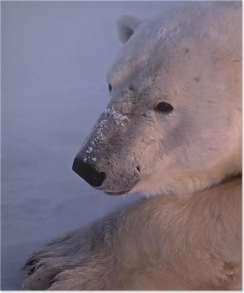 polar bear head shot poster pixers we live to change