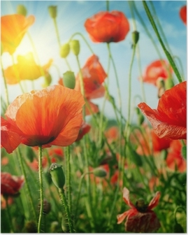 poppies field in rays sun Poster