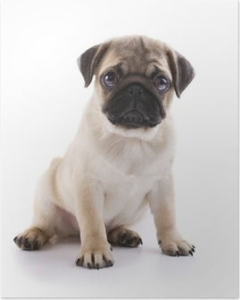 Pug puppy Poster