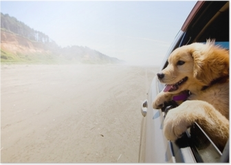 Puppy looking out the window of a car Poster