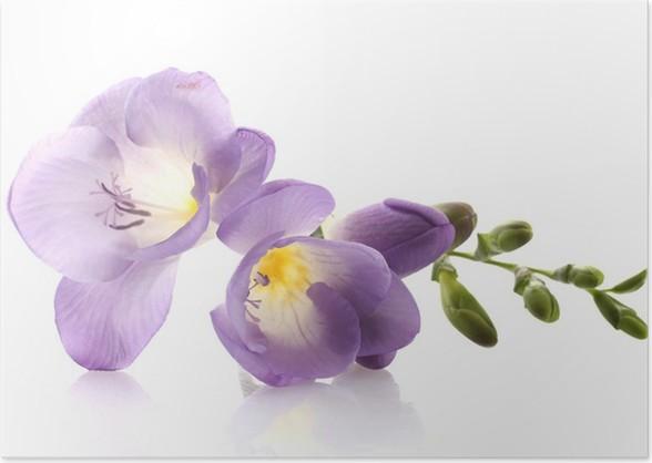 Purple freesia flower isolated on white poster pixers we live purple freesia flower isolated on white poster mightylinksfo