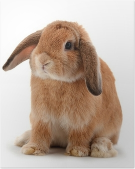 rabbit isolated on a white background Poster
