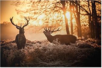 Poster Red Deer au soleil du matin.
