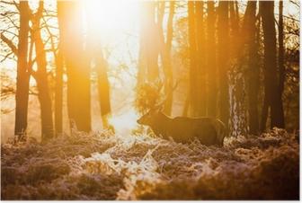 Red deer in morning sun Poster