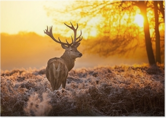 Red Deer in the morning sun Poster