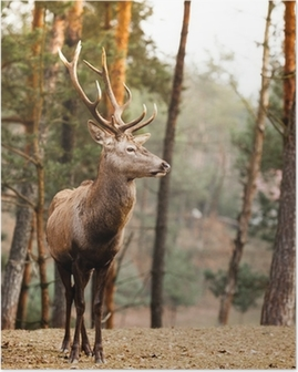 Red deer stag in autumn fall forest Poster