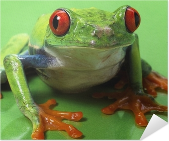 red eyed treefrog macro isolated exotic frog curious animal brig Poster