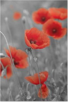 red poppies on b/w field Poster