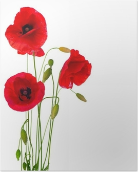 Red Poppy Flower Isolated on a White Background Poster