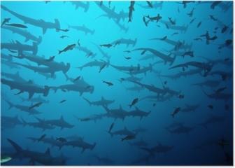 requin marteau en banc, Galapagos Poster