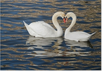 Romantic swans in spring. Poster