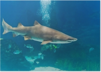 sand tiger shark (Carcharias taurus) underwater close up portra Poster