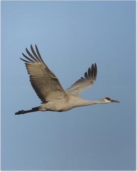 Poster Sandhill Kraanvogel (Grus canadensis)