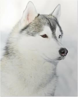 Poster Siberian husky hund porträtt på vintern