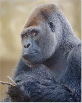 Silverback gorilla. Poster