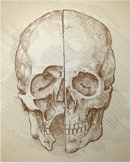 Skull. Section. Based on drawing of Leonardo da Vinci Poster