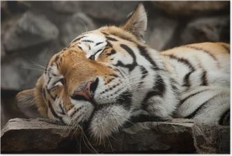 Poster Slapende tijger
