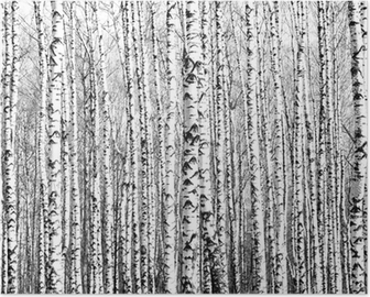 Spring trunks of birch trees black and white Poster
