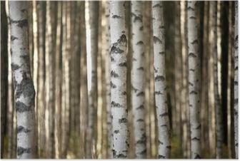 Poster Stammen van berkenbomen