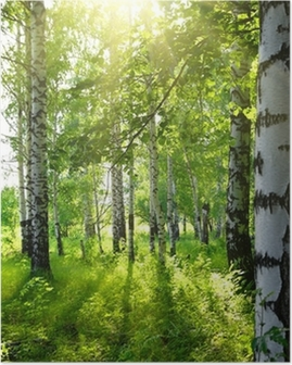 summer birch woods with sun Poster
