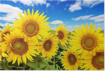 sunflower field and blue sky with clouds Poster