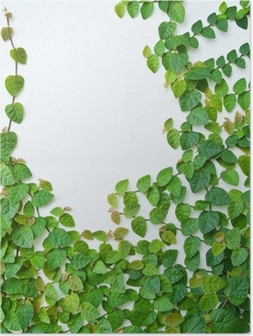 The Green Creeper Plant on the wall for background. Poster