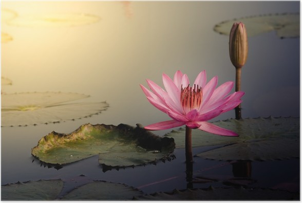 The pink lotus flower poster pixers we live to change the pink lotus flower poster flowers mightylinksfo