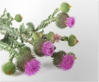 Thistle flower poster pixers we live to change mightylinksfo