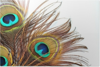 Three peacock feathers Poster