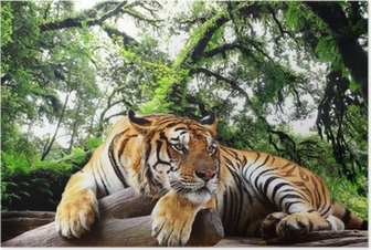 Tiger looking something on the rock in tropical evergreen forest Poster