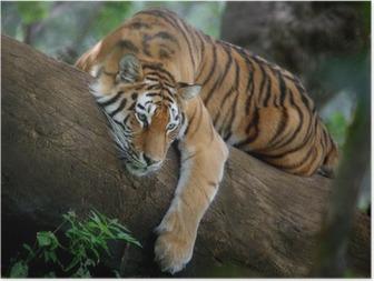 Poster Tigre sur arbre