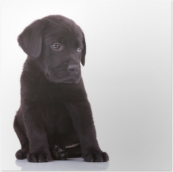 Poster Timide labrador retriever chiot